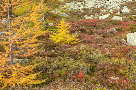 yellow larches at fall in the woods