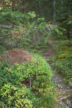 anthill: big anthill inside a forest, no people around Stock Photo