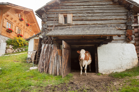 A cow is standing out its cowshed in a mountain pasture in Val di Funes - Dolomites Stock Photo