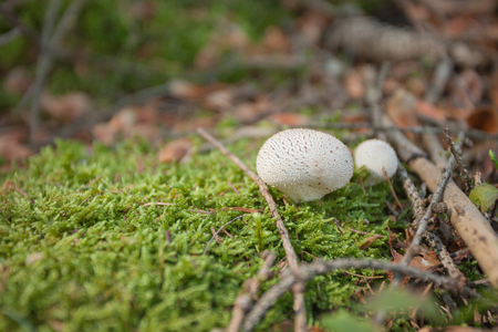 Young Lycoperdon perlatum grown up inside a forest Stock Photo