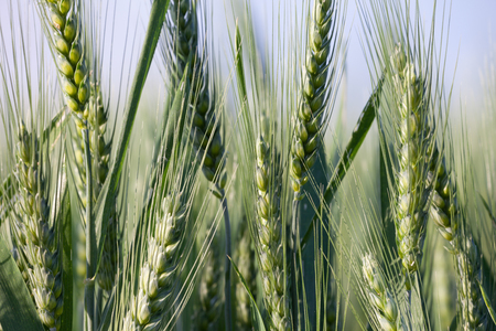 close up on green wheat ears on late spring Archivio Fotografico