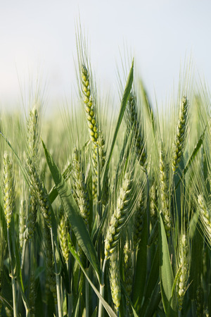close up on green wheat ears on late spring Stock Photo