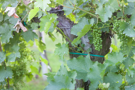 unripe grapes cultivated in Italy