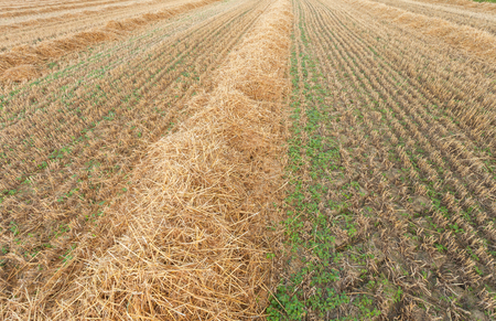 freshly harvested wheat field