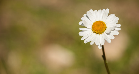 Marguerite flower from the Dolomites - ITALY