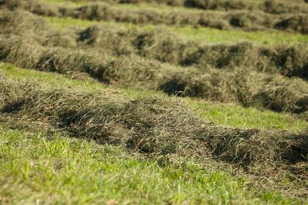 Rural scene during hay harvest in Villnoess in Dolomites