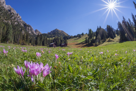 crocus in a wide green pasture in Dolomites in a sunny day Imagens