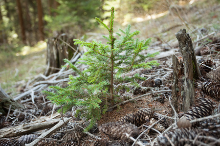 A little pine tree is growin up in the woods