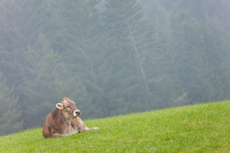 An happy brown alpine cow resting in a green pasture in Dolomites area