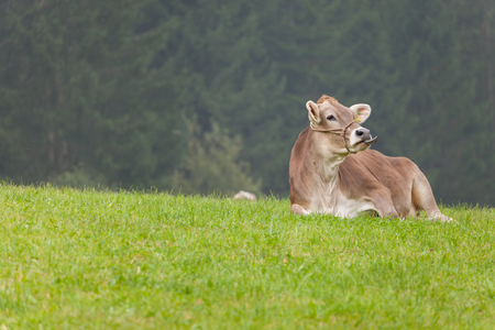A brown alpine cow resting in a green pasture in Dolomites area 免版税图像