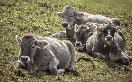 Some alpine grey cows resting in a green pasture in Dolomites area Editorial