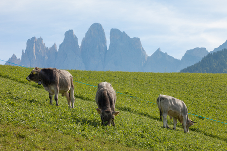 Some alpine cow in a green pasture in Dolomites area