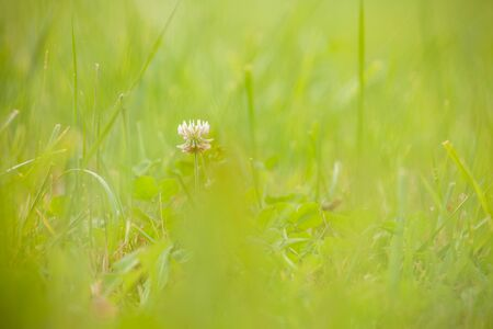 close up over the grass from a green mountain pasture in Dolomites, Italy