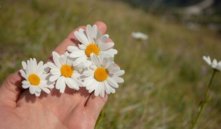 four daisies flowers on one hand