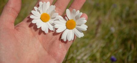 two daisies flowers on one hand