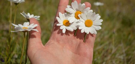 three daisies flowers on one hand Banco de Imagens - 142172577