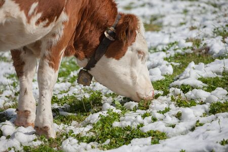A brown alpine cow in a green pasture covered with snow in Dolomites area