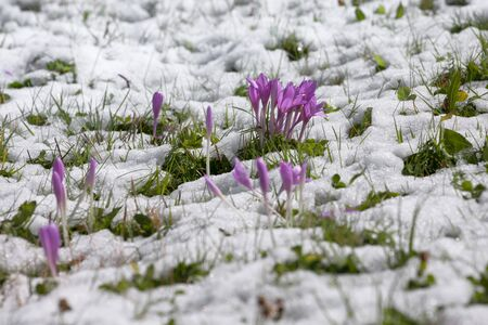 crocus in a wide green pasture in Dolomites