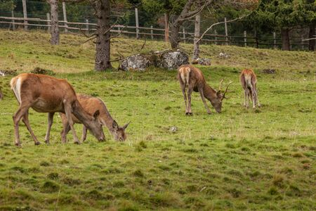 A group of young deers in a green alpine pasture;