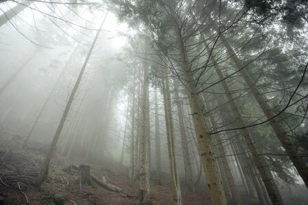 A foggy day inside an Italian mountain coniferous forest