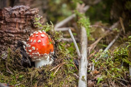 Young Amanita Muscaria grown up inside a forest in Dolomites (Italy)