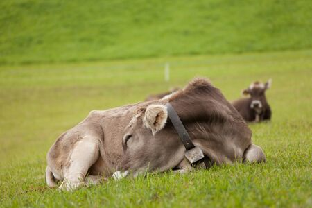 A brown alpine cow resting in a green pasture in Dolomites area