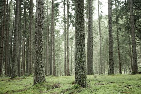 Wide view inside a pine forest in the Dolomites (Italy) Standard-Bild