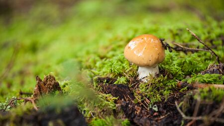 mushroom grown up inside a forest in Dolomites (Italy)