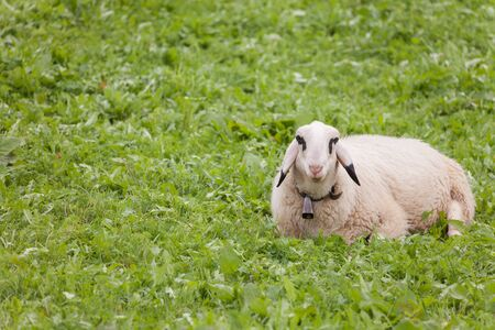 Brillenschaf sheep in an Italian mountain  pasture Standard-Bild