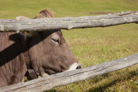 A brown alpine cow resting in a green pasture in Dolomites area Stock Photo