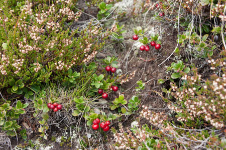 cranberry plant in natural alpine environment
