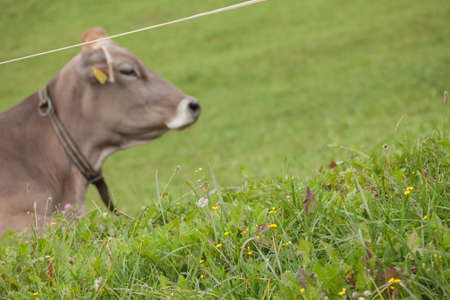 A brown alpine cow in a green pasture in the Dolomites area