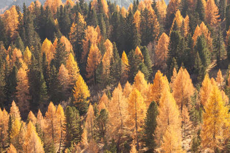 yellow larches and green pine trees at fall in the woods Banco de Imagens