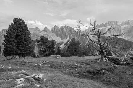 old died pine tree over an alpine pasture in Dolomites Banco de Imagens