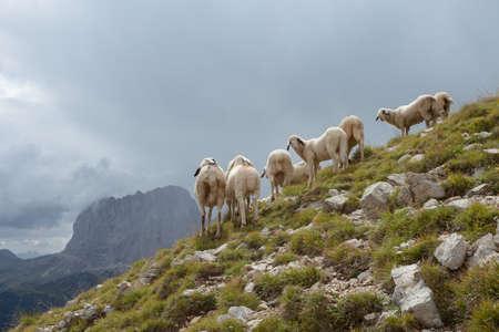 Brillenschaf sheep in an Italian mountain pasture Banco de Imagens