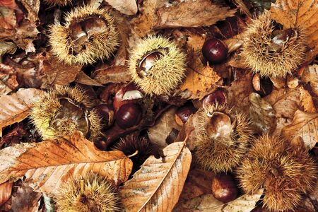 Undergrowth with dropped husks and chestnuts and dry leaves. Picture taken in a wood, during the autumn, in the North of Italy - Top view.