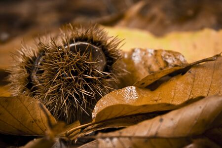 Dropped husk and chestnuts with dry leaves. Picture taken in a wood, during the autumn, in the North of Italy.