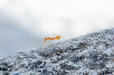 red ant: