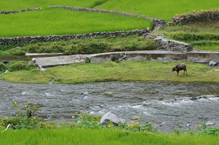 flowing river: a cow in the middle of a green meadow and flowing river
