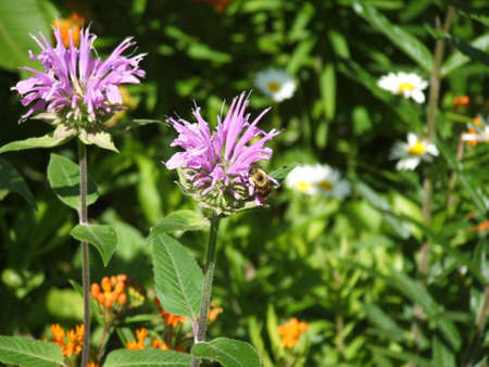 stamen wasp: Purple beebalm flowers with a Bumblebee on them.  Stock Photo