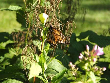 Monarch butterfly on a white balloon flower. Фото со стока