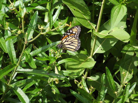 A Monarch butterfly .