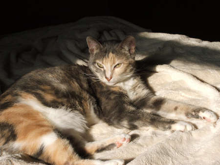 calico cat: A calico cat lying in the sun.