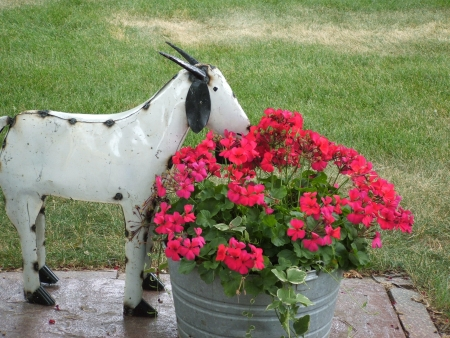 Metal goat statue eating pink Geraniums  photo