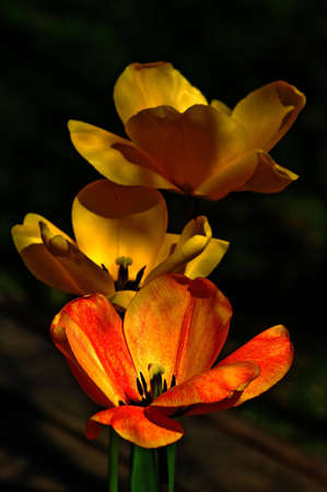 Beautiful blooming red and yellow flowers with dark background, close-up . photo