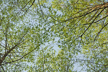 ligh: Trees in forest against the blue sky in the background .