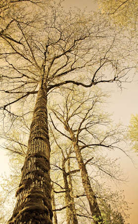 Sepia colored old trees photographed from below in a forest area with the sky at the background . photo