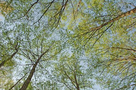 bellow: �rboles verdes fotografiado desde abajo contra el cielo azul.