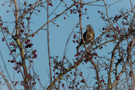 Fieldfare eating berries with a blue sky background