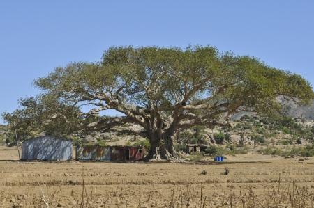 eritrea: ancient baoban in eritrea
